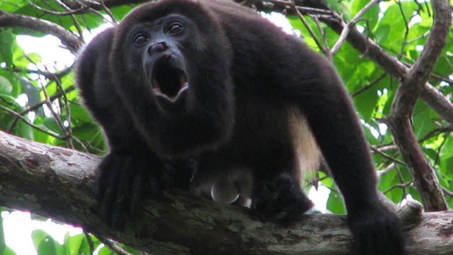 Howler-Monkey-Howling