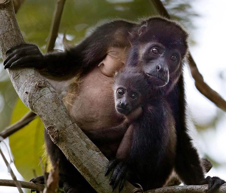 Howler-Mother-with-Baby