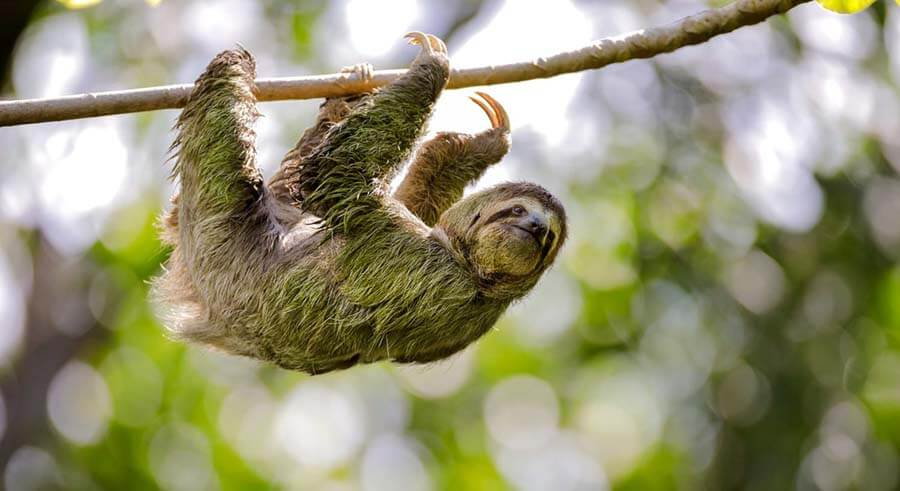 ThreeToed Sloth