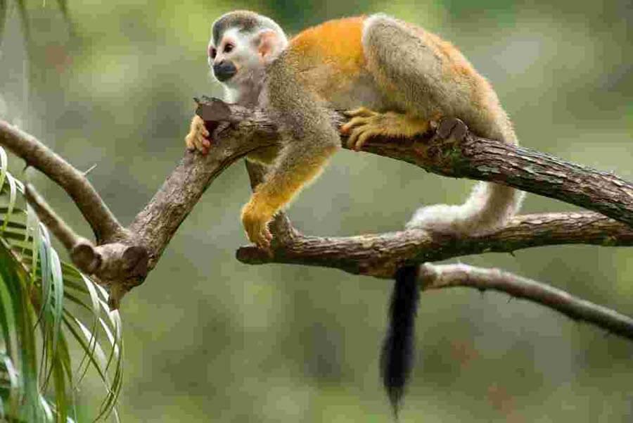 Titi-Monkey