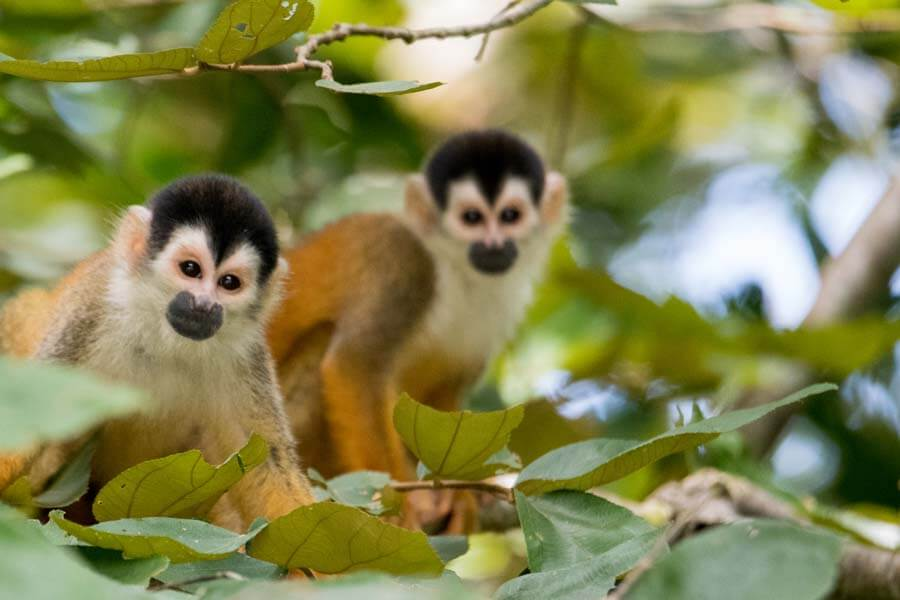 Two-Squirrel-Monkeys