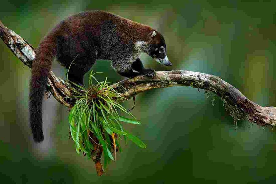 White-Nose-Coati-Racoon